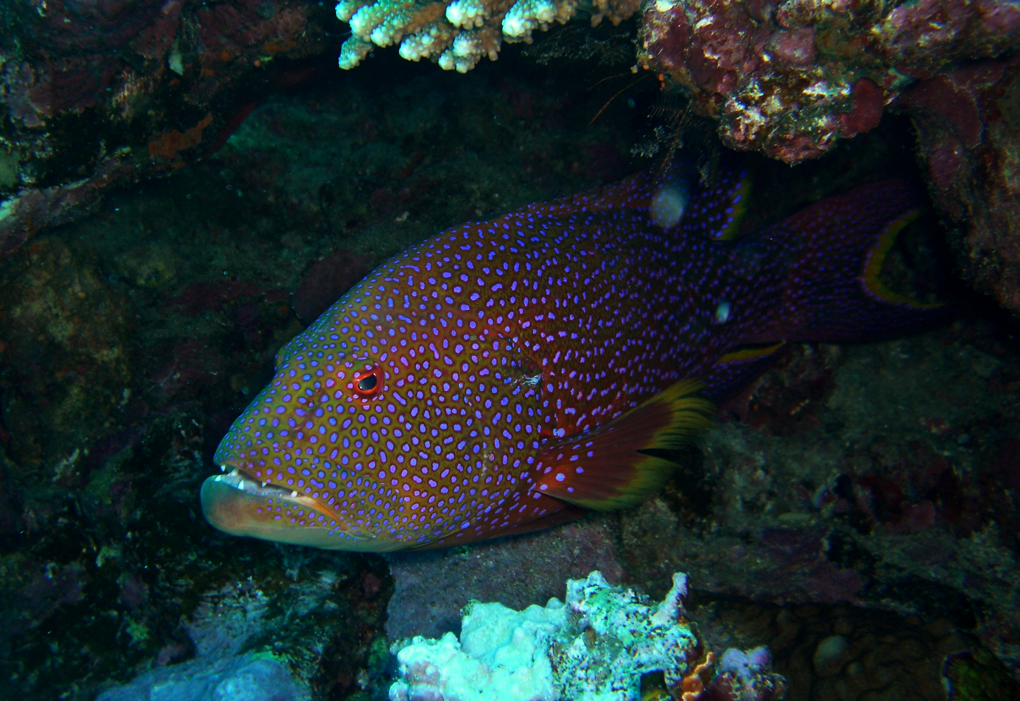 Image of Common Lyre-tail Cod