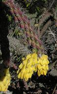 Image of <i>Opuntia spinosior</i>