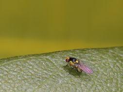 Image of <i>Liriomyza flaveola</i> (Fallen 1823)