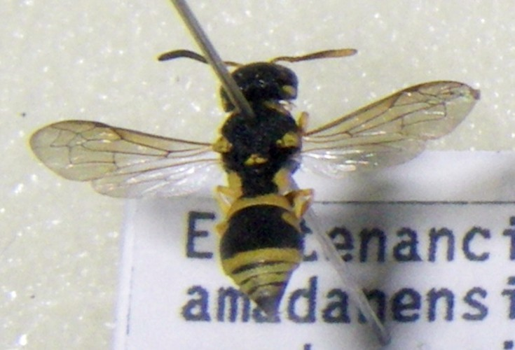 Image of <i>Eustenancistrocerus amadanensis</i> (de Saussure 1856)