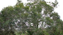 Image of <i>Parinari littoralis</i> Prance