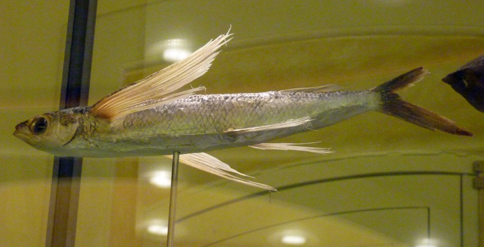 Image of Blue Flying Fish