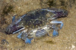 Image of Pacific blue swimming crab