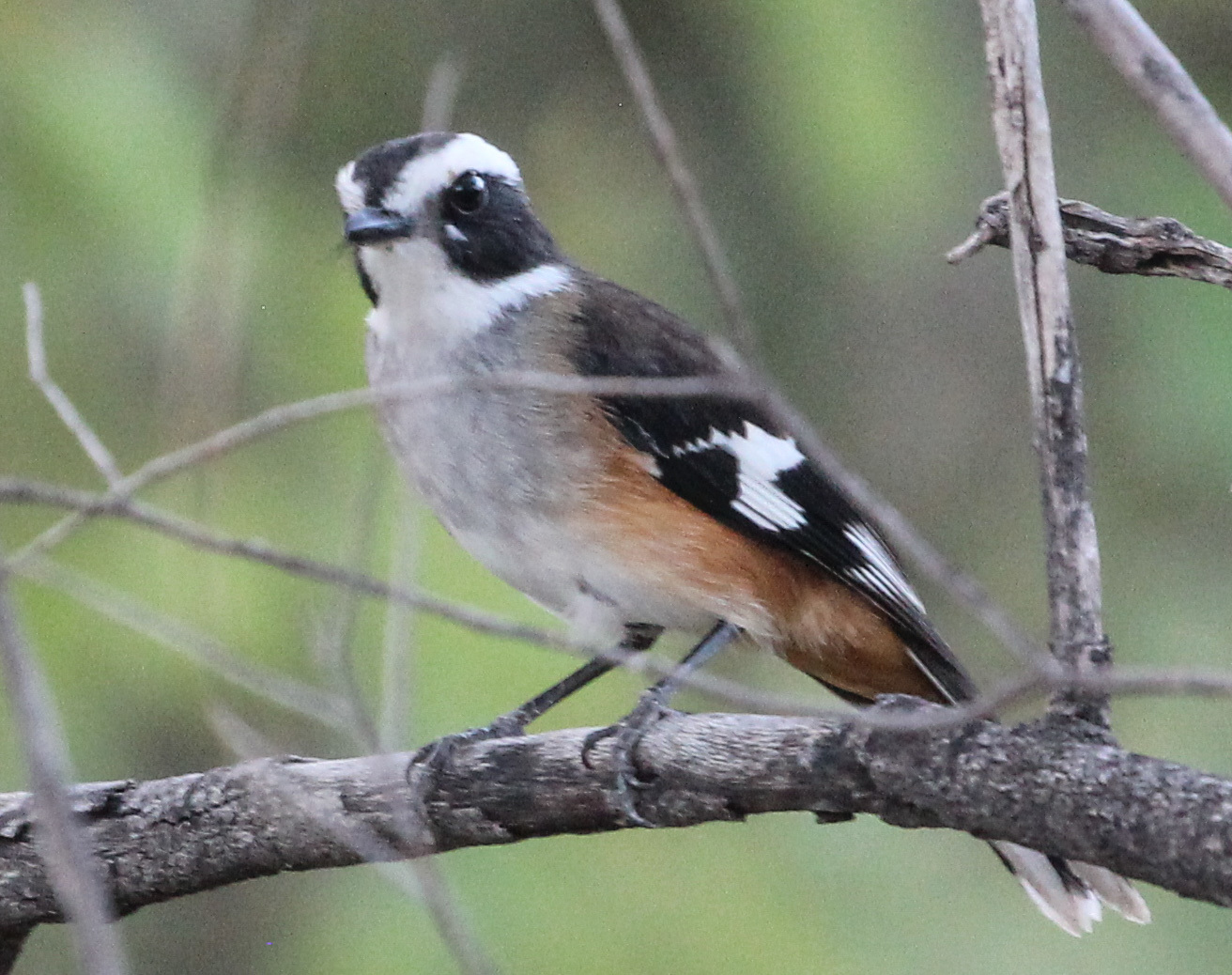 Image of Buff-sided Robin