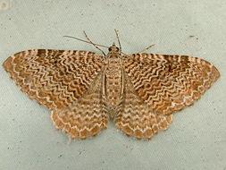 Image of <i>Rheumaptera undulata</i> Linnaeus 1758