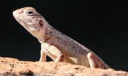 Image of <i>Ctenophorus caudicinctus macropus</i> (Storr 1967)