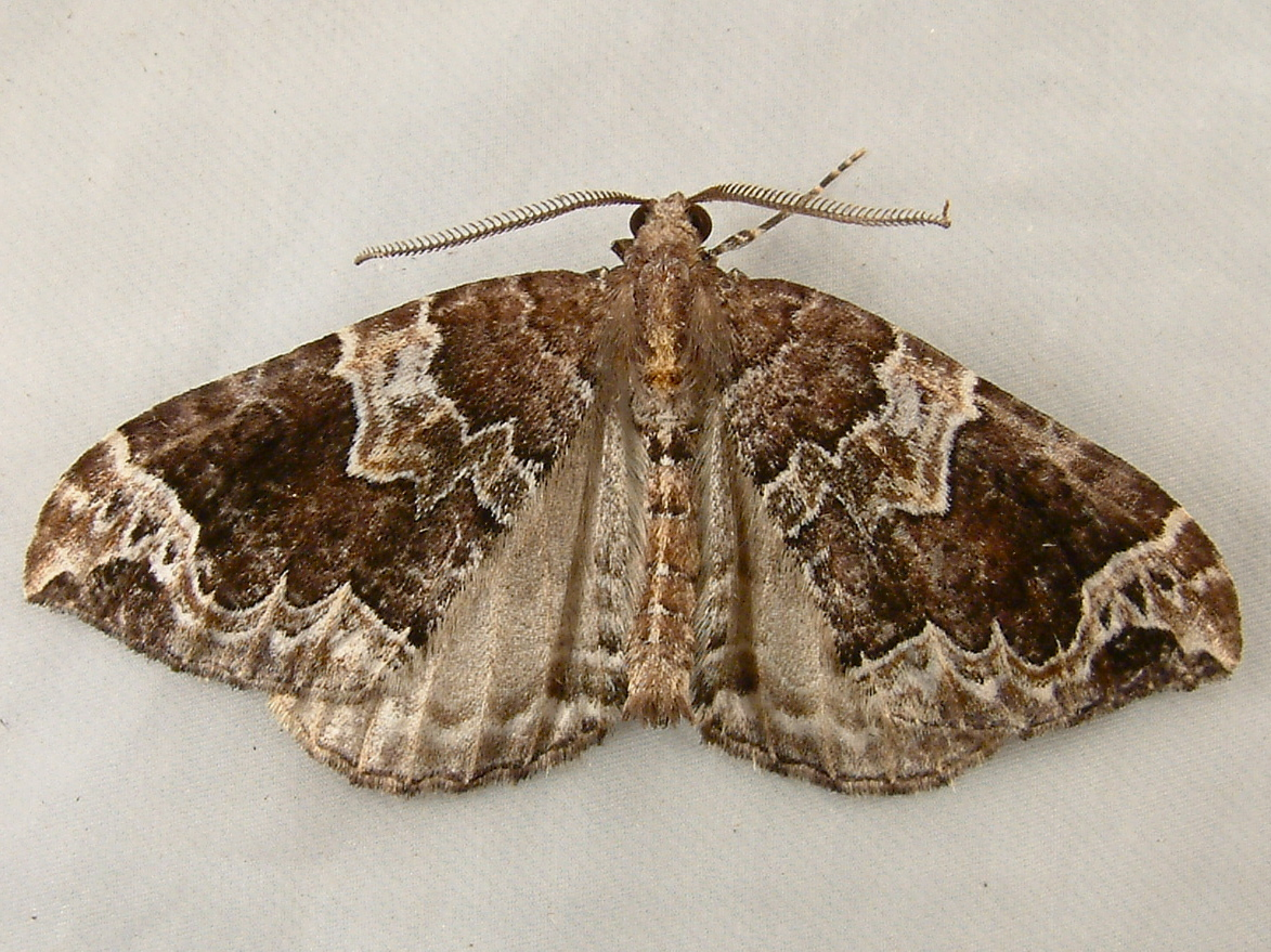 Image of Northwestern Phoenix Moth