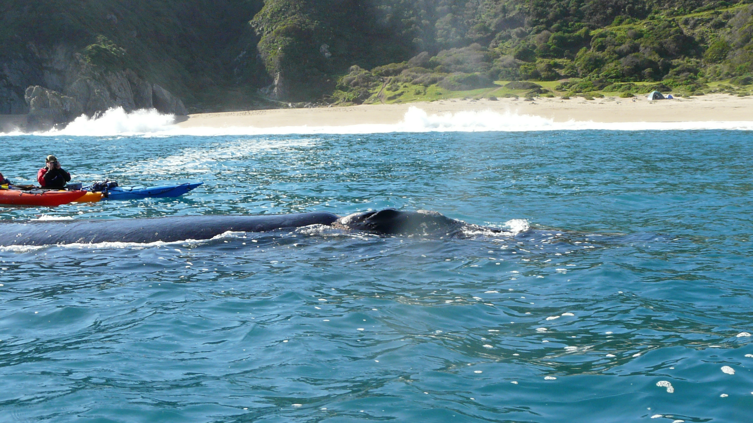 Image of Southern Right Whale