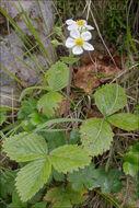 Image of <i>Fragaria moschata</i> Duchesne