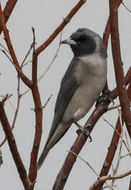Image of Masked Woodswallow
