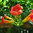 Image of trumpet creeper