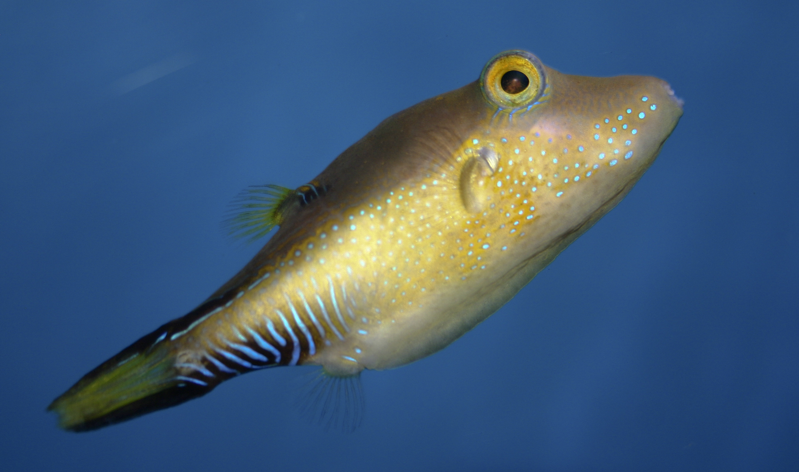Image of Caribbean Sharpnose-puffer