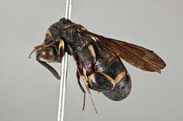Image of <i>Leucospis femoricincta</i> Boucek 1974