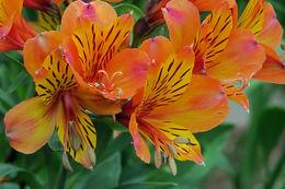 Image of Peruvian-lily