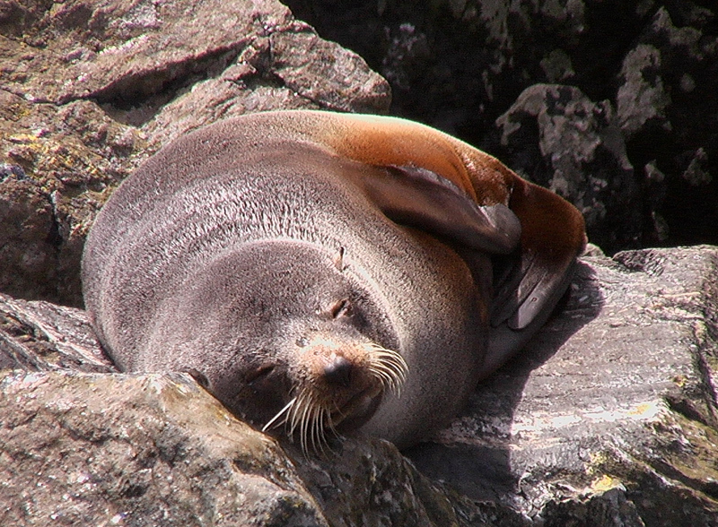 Image of New Zealand Fur Seal