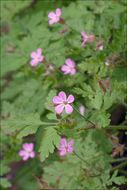 Image of <i>Geranium <i>robertianum</i></i> ssp. robertianum