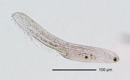 Image of <i>Anigsteinia clarissima</i>
