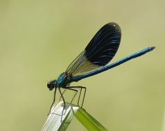 Image of Banded Demoiselle
