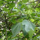 Image of Punjab fig