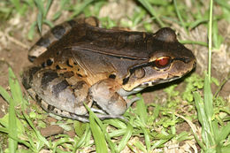 Image of Savage's Thin-toed Frog