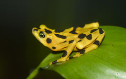 Image of Golden arrow poison frog
