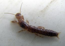 Image of <i>Haploembia solieri</i> (Rambur 1842)