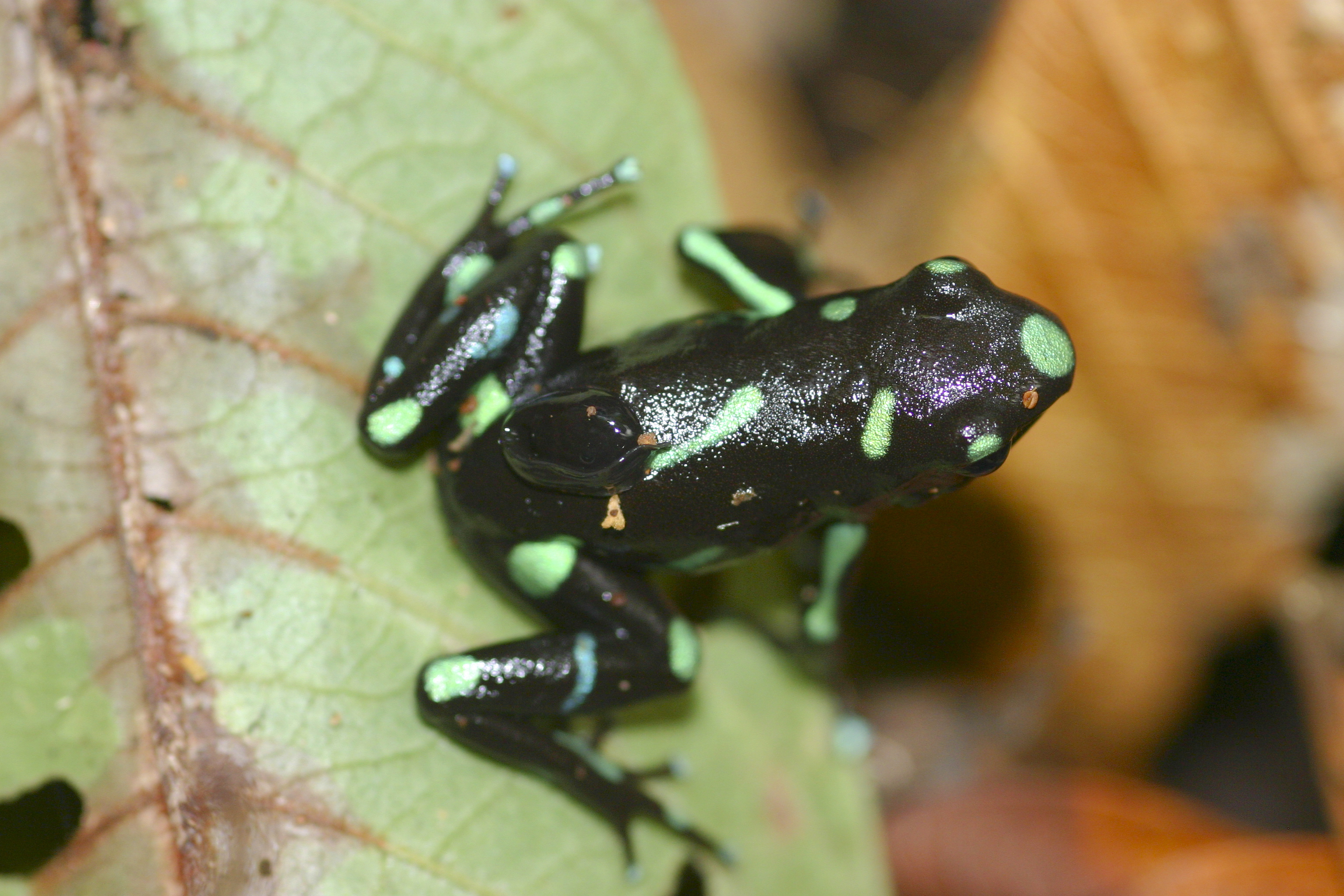 Image of Gold Arrow-poison Frog
