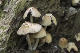 Image of Glistening Inky Cap