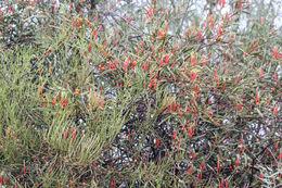 Image of <i>Lysiana <i>exocarpi</i></i> ssp. exocarpi