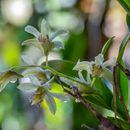Image of <i>Dendrobium delacourii</i> Guillaumin