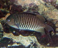 Image of Lyretail Angelfish