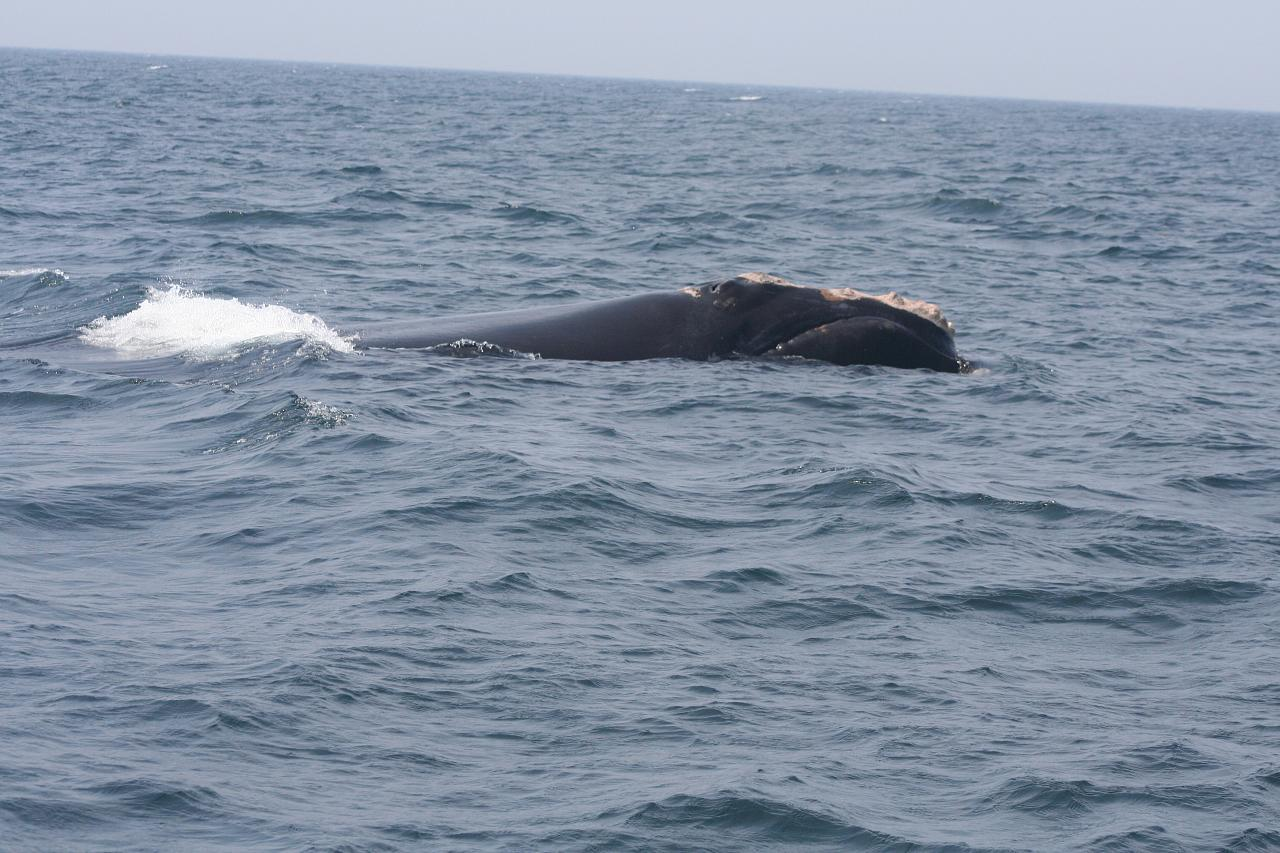 Image of Black Right Whale