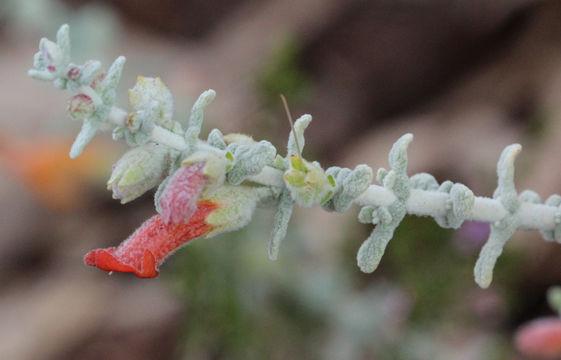 Image of <i>Pityrodia dilatata</i> (F. Muell.) Benth.