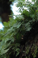 Image of resurrection fern
