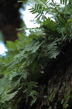 Image of resurrection fern