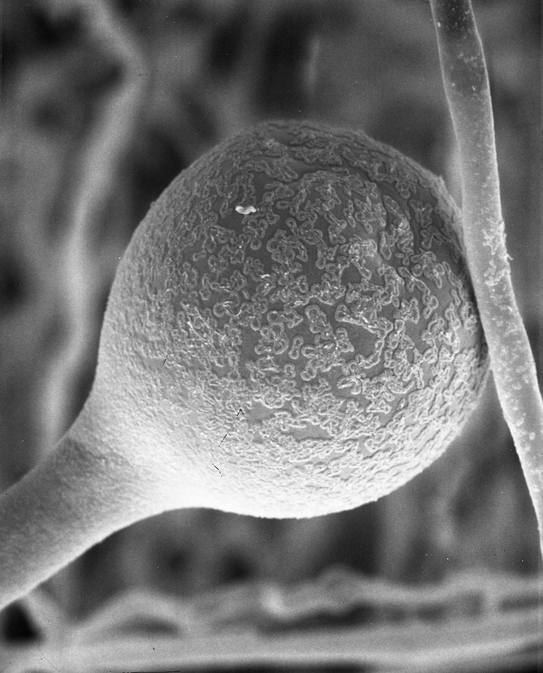 Image of <i>Amylomyces rouxii</i>