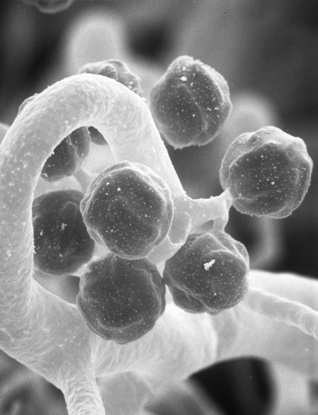 Image of <i>Thamnidium elegans</i> Link 1809