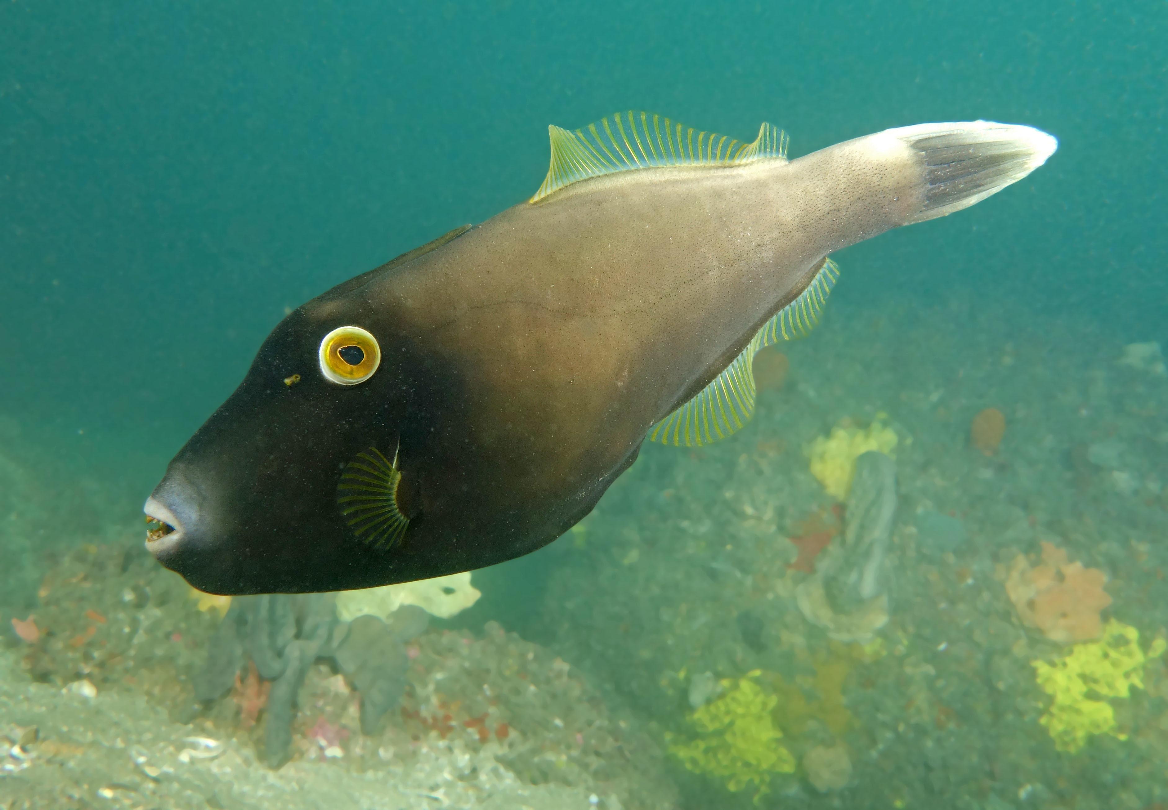 Image of Black reef leatherjacket