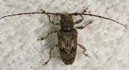 Image of <i>Aegomorphus modestus</i> (Blais 1817)