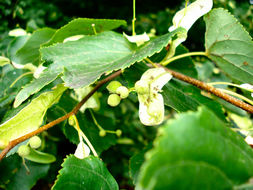 Image of Small-leaved Lime