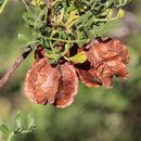 Image of <i>Dodonaea physocarpa</i> F. Müll.
