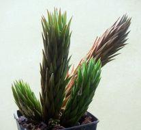 Image of <i>Haworthia glauca</i> Baker
