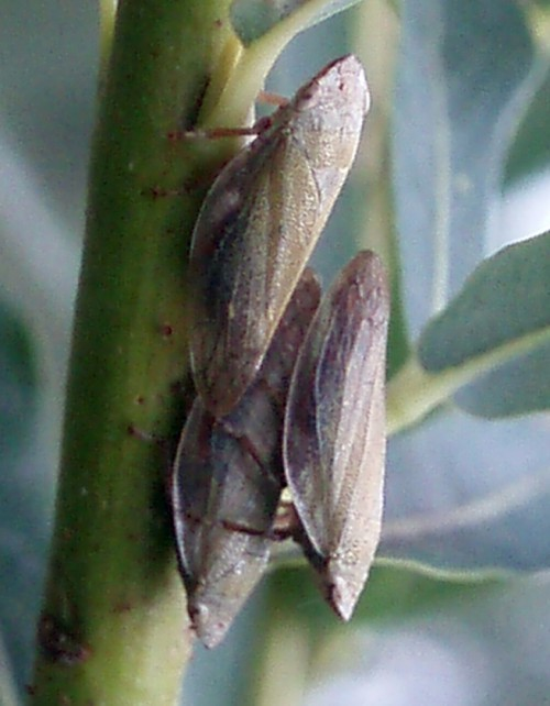 Image of Willow Froghopper