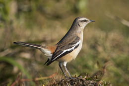 Image of White-banded mockingbird