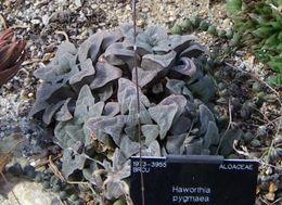 Image of <i>Haworthia pygmaea</i> Poelln.