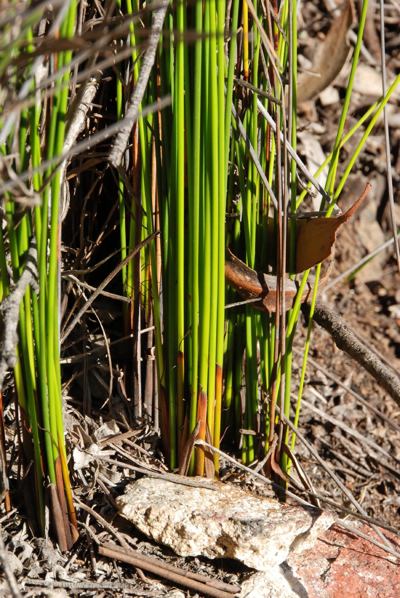 Image of <i>Lepidosperma urophorum</i> N. A. Wakef.