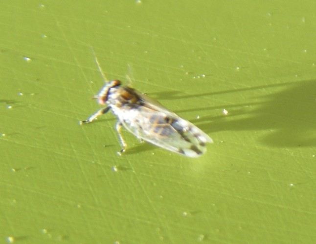 Image of <i>Cacopsylla pulchella</i> (Low 1877)