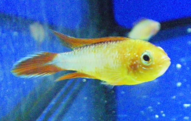 Image of Agassiz' dwarf cichlid