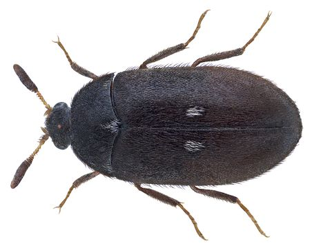 Image of Fur beetle
