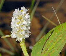 Image of <i>Pontederia parviflora</i> Alexander